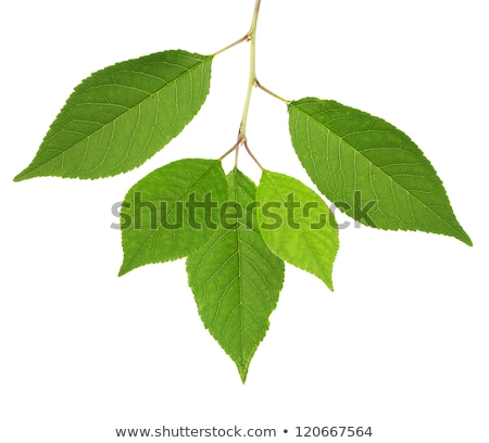 şube yeşil yaprak bir yalıtılmış beyaz Stok fotoğraf © boroda
