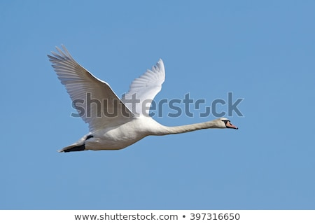 néma · hattyú · repülés · elvesz · el · víz - stock fotó © mobi68