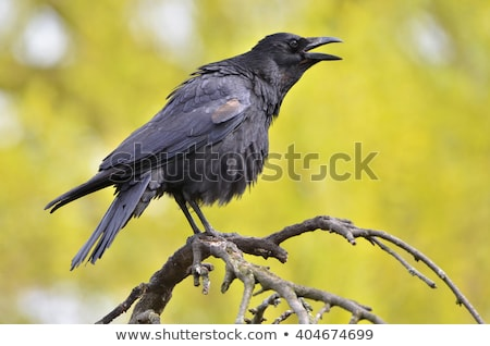 siyah · karga · kısa · tüy · hayvanlar · karanlık - stok fotoğraf © taviphoto