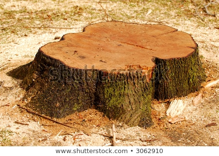 Stump of a freshly cut tree surrounded by saw dust Stock photo © pinkblue
