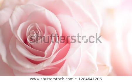 ピンクのバラ クローズアップ マクロ 花弁 花 バラ ストックフォト © mroz
