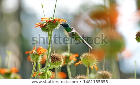 Stock photo: Sparkling Violetear Hummingbird Pollinating Plant
