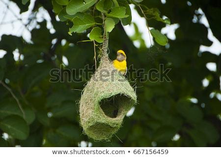 Baya weaver  nest Stock photo © stoonn