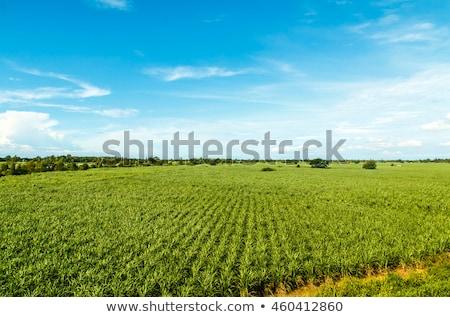 Sugarcane crop  in Maui. Stock photo © iofoto