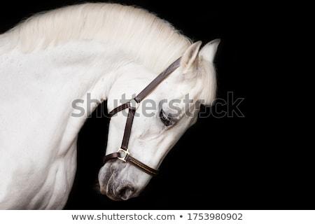 white horse with bridle stock photo © rhamm