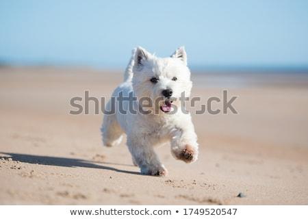 Köpek yavrusu batı beyaz terriyer bahçe çim Stok fotoğraf © CaptureLight