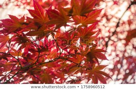 カエデの葉 · 秋 · 自然 · 葉 · 工場 · ジャングル - ストックフォト © elenarts