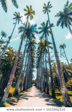 Stok fotoğraf: Palmiye · geçit · Rio · de · Janeiro · Brezilya · plaj