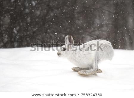 заяц белый зима парка лесу полях Сток-фото © nialat