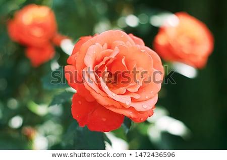 Kırmızı turuncu gül çiçek su damlası seçici odak Stok fotoğraf © AlessandroZocc
