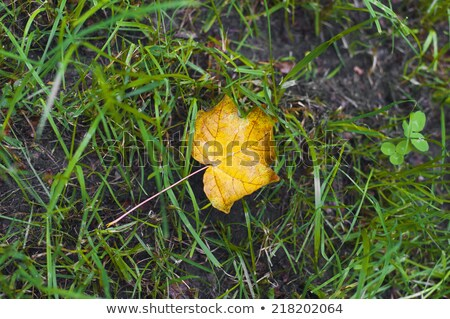 One new maple yellow leaf laying on earth stock photo © mikhail_ulyannik