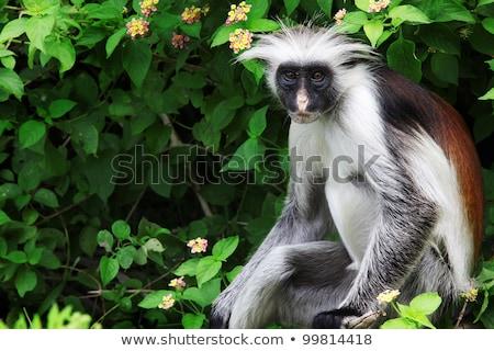 Zanzibar red colobus monkey Stock photo © EcoPic