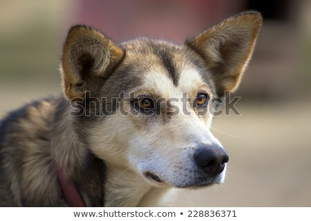 Hoofd husky oren omhoog naar Stockfoto © miracky