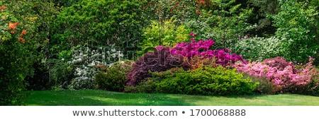 Foto d'archivio: English · giardino · impianti · fiori · acqua · rosa