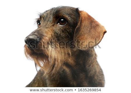 wired hair dachshund portrait a in studio Stock photo © vauvau