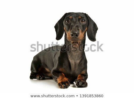 Stock photo: short hair dachshund lying in a white studio