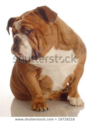 English Bulldog relaxing  in the dark studio Stock photo © vauvau