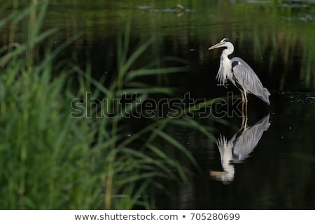 Grey heron in water Stock photo © EcoPic