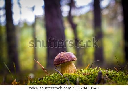 Royal bois mousse croissant roi blanche Photo stock © romvo