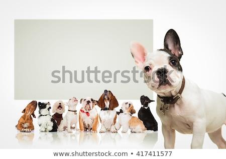голову Cute французский дог белый Сток-фото © feedough