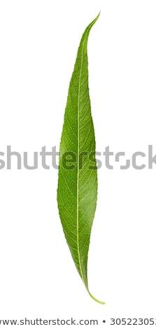 Bladeren wilg voorjaar macro nieuwe groene bladeren Stockfoto © Mikko