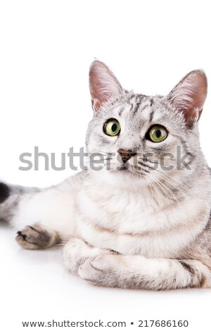 side view of adorable grey cat lying down Stock photo © feedough