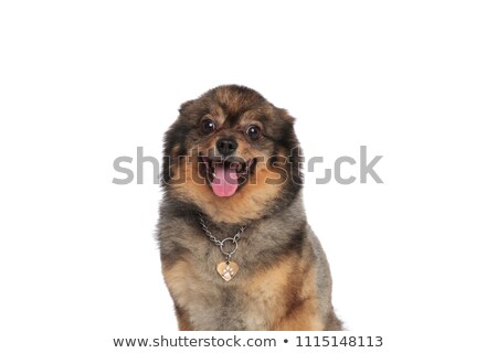 close up of excited seated pomeranian panting Stock photo © feedough