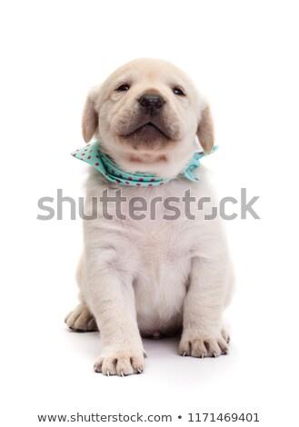 Orgulhoso labrador cachorro cão Foto stock © ilona75