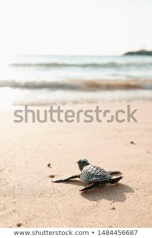 Unatkozik kicsi tenger teknős rajz illusztráció Stock fotó © cthoman