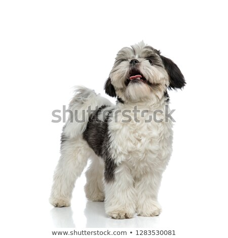 panting shih tzu looks to side while standing Stock photo © feedough