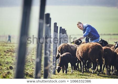 Farm scene with farmer and sheeps Stock photo © colematt