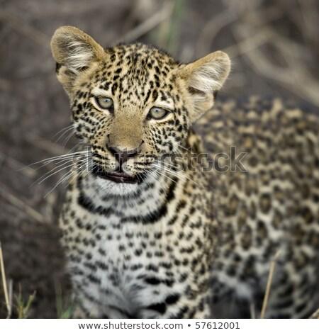fiatal · leopárd · áll · fű · park · Dél-Afrika - stock fotó © simoneeman