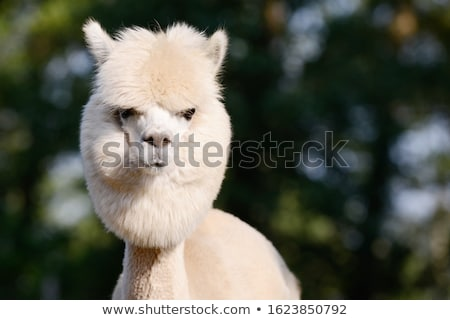 alpaca portrait stock photo © prill