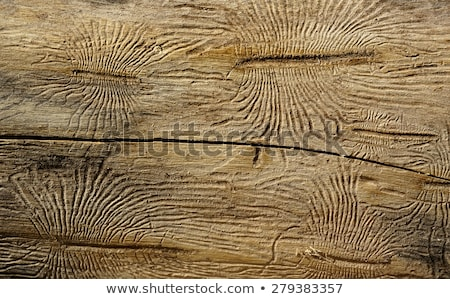 bark beetle gallery engraving on wood Stock photo © galitskaya