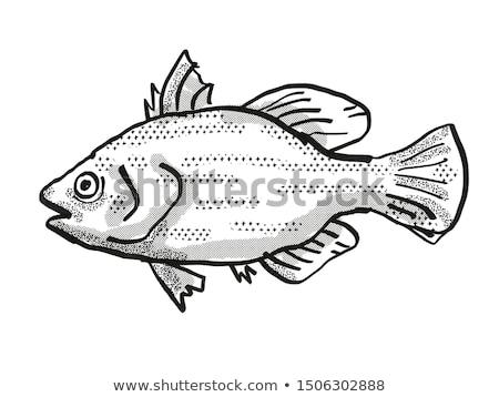 Spikey Bass Australian Fish Cartoon Retro Drawing Stock photo © patrimonio