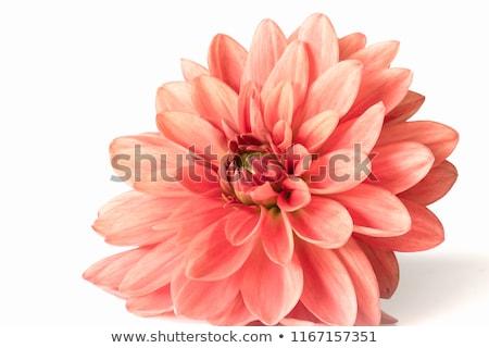 изолированный георгин цветок цветы Сток-фото © manfredxy