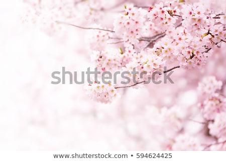 cerisiers · en · fleurs · floraison · isolé - photo stock © elenaphoto