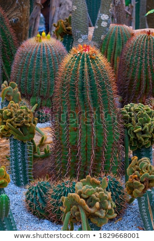 Barrel Cactus With Needles Stock photo © pixelsnap