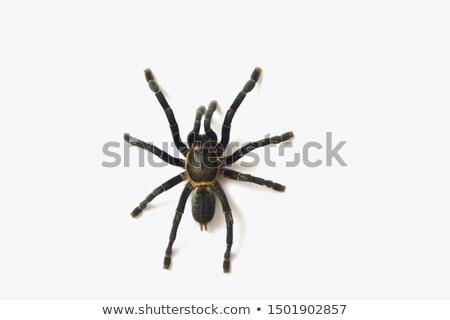 белый · тарантул · Spider · назад · землю · аннотация - Сток-фото © Sniperz