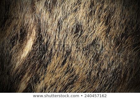 wild boar pelt Stock photo © taviphoto