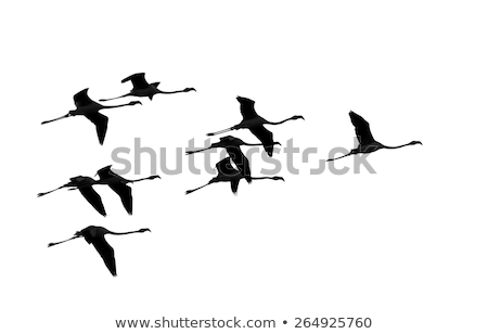 Flamingos Flying over the sea Stock photo © zzve