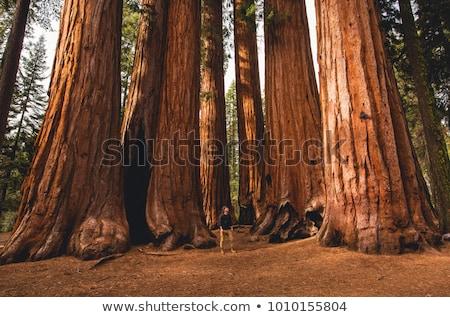 Secoya parque dos grande árboles textura Foto stock © weltreisendertj