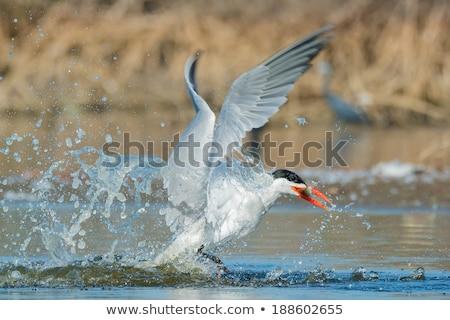 Caspian Tern in flight in the mangroves Stock photo © davemontreuil
