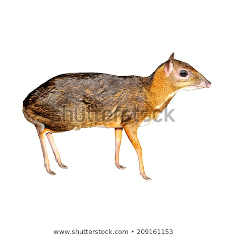 lesser mouse deer isolated stock photo © anan