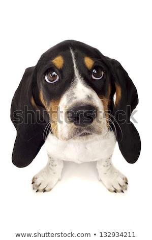 Basset hound, sad eyes dog on white background Stock photo © ChilliProductions