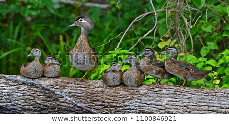 wood duck ducklings stock photo © brm1949