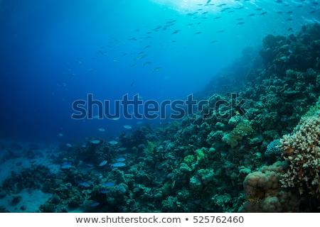 Subacquea corallo giardino soft sport natura Foto d'archivio © smithore