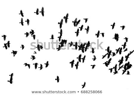 large flock of crows stock photo © mikko