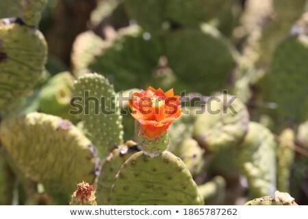 Törékeny sivatag növényvilág színes délnyugat virágok Stock fotó © emattil