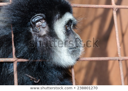 Face and eyes downcast of gibbon in a cage Stock photo © Yongkiet